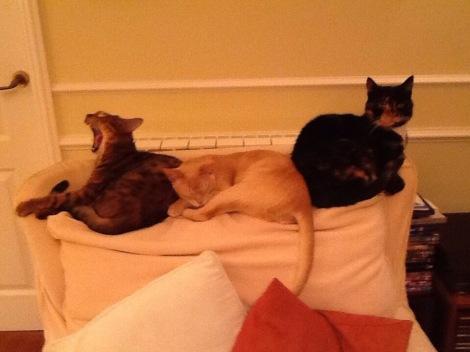 My feline family Misha, Ollie and Tilly